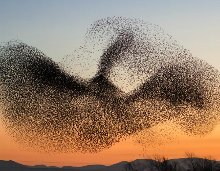 Starling Murmurations in Ambracian gulf!
